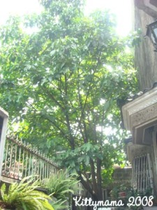 The santol tree in front of my house