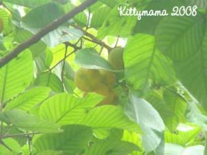 santol fruits of the tree